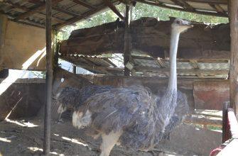 Африканский страус давно не редкость в хозяйствах на юге страны