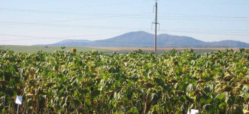 На Востоке убрали 75% гречихи и 18% масличных